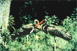 Der Schwarzstorch, Waldbewohner im Nieme-Einzugsgebiet